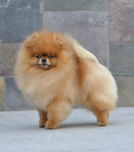 pomeranian adults cr pomeranians washington usa 6561